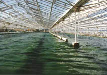 Growing Spirulina